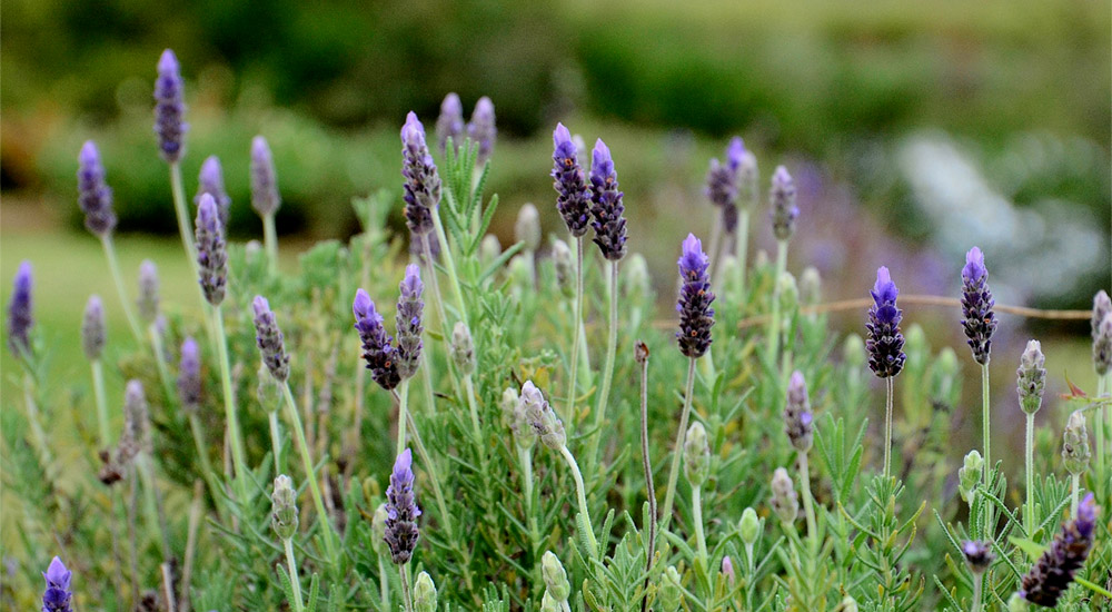 Lavender in garden of Friemersheim Kwekery